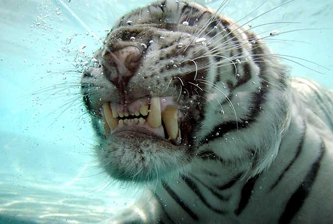 amazing-white-tiger-under-water5