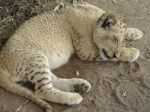 sleeping lion cub 2